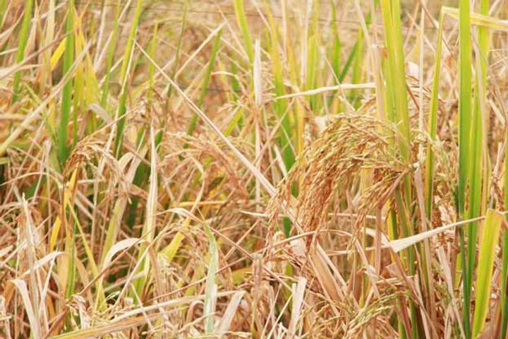 Adverse Weather Dampens China Summer Crop Yields