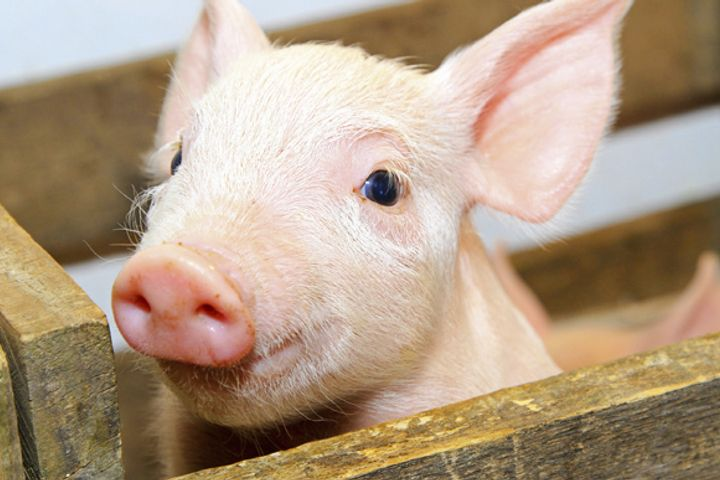 Alibaba Unveils Pig-Rearing Technology to Produce Better Pork