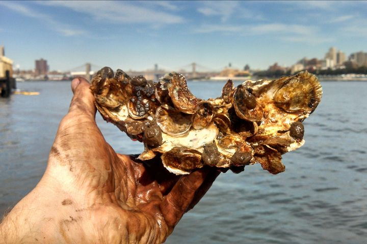 Aw Shucks! Can Oysters Clean up New York Harbor?