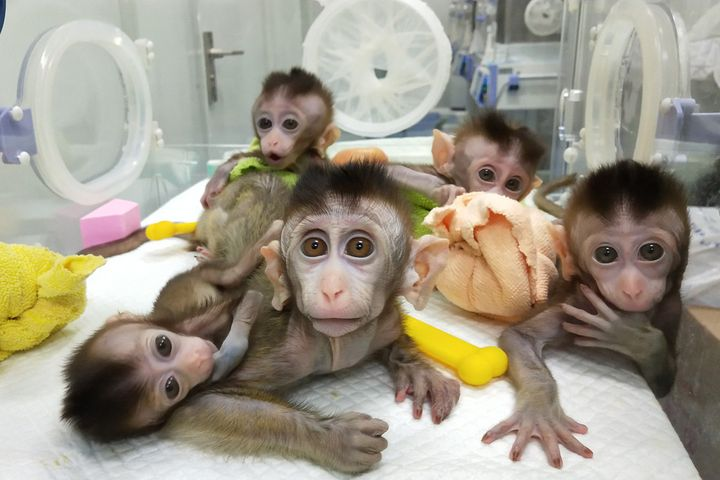 China Clones Five Monkeys With Genes Edited to Cause Mental Illness