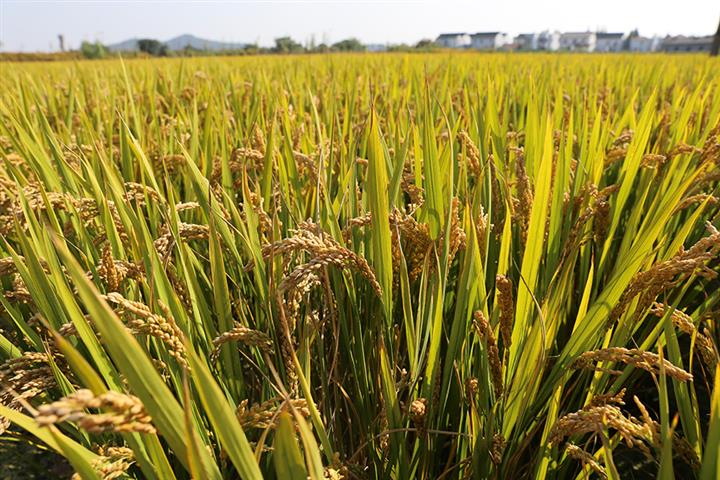 China's Food Security to Be Greatly Fortified Over Next Decade, Ministry Says