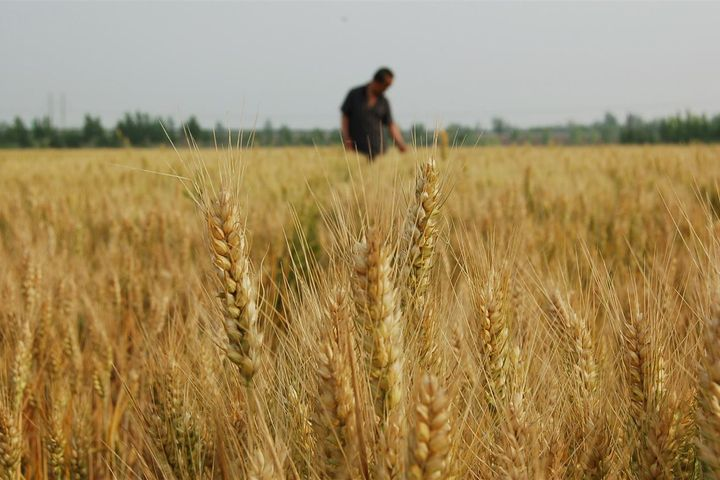 China Has Strong Summer Harvest Despite Decrease in Sown Area