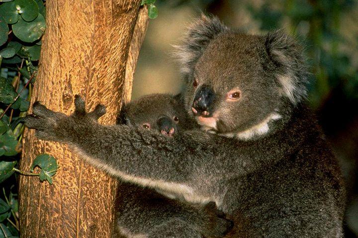 China National GeneBank, CQ University Australia Team Up to Research Koala Bear Genomics