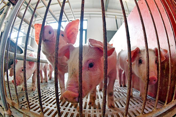 China Takes More Steps to Help Embattled Pig Farmers as Pork Prices Soar