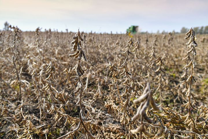 China to Free Up 670,000 Hectares Land for Soybean Planting This Year