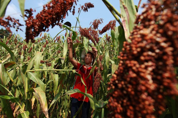 China's US Sorghum Dumping Probe Protects Farmers, Work Group Says