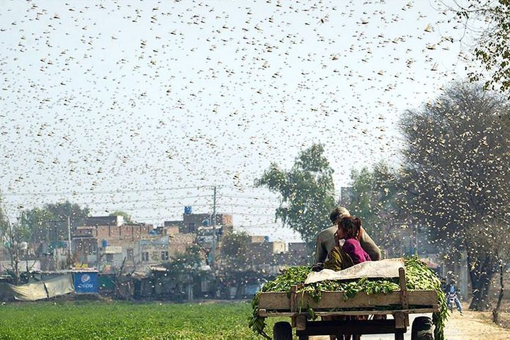 Chinese Province Keeps a Sharp Eye Out for Locusts as Farmers Brace for Another Plague