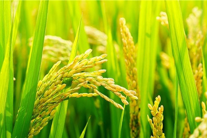 Chinese Scientists Grow Saltwater-Tolerant Rice With AI in Dubai's Desert