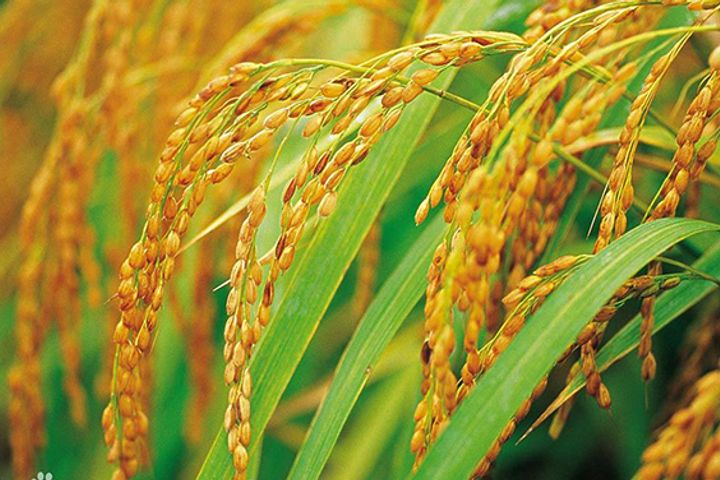 Chinese Scientists Manage to Revive What's Best in Hybrid Rice to Make Seeds More Durable