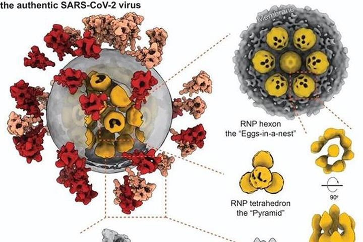 Chinese Scientists Produce 3D Detailed Structure of SARS-CoV-2