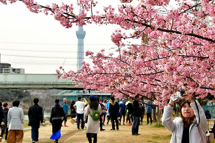 Chinese Tourists to Spend Big on Cherry Blossom Trips to Japan This Spring
