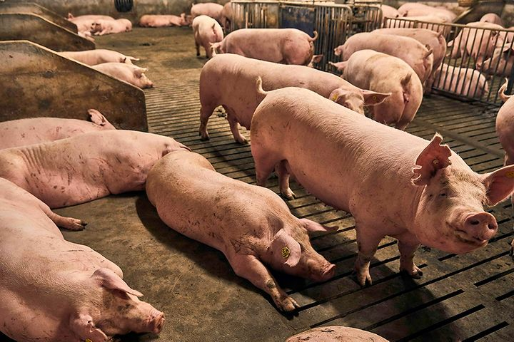 New Hope Liuhe to Snap Up Two Pig Breeders for USD140 Million