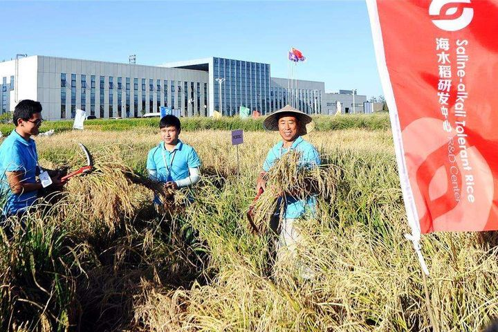 Qingdao Research Center's Sea Rice Patch Has Maximum Yield Over 600kg/mu, Experts Say