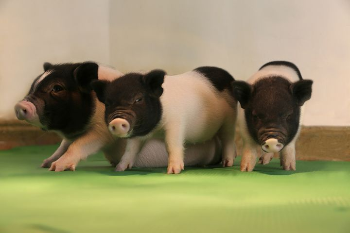 Scientists Create Benign Swine, Expect Pig-to-Human Transplants in Three Years