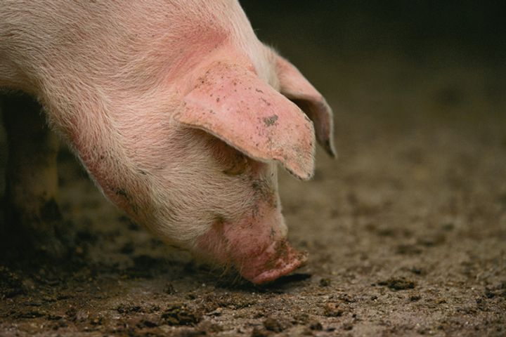 Swine Fever Crops Up Again in E. China, But Lid on Disease, Agro-Ministry Says