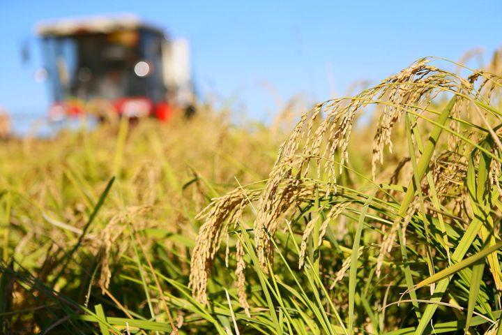 Yield Per Unit Area of Super Hybrid Rice Sets World Record 1,150 Kilograms