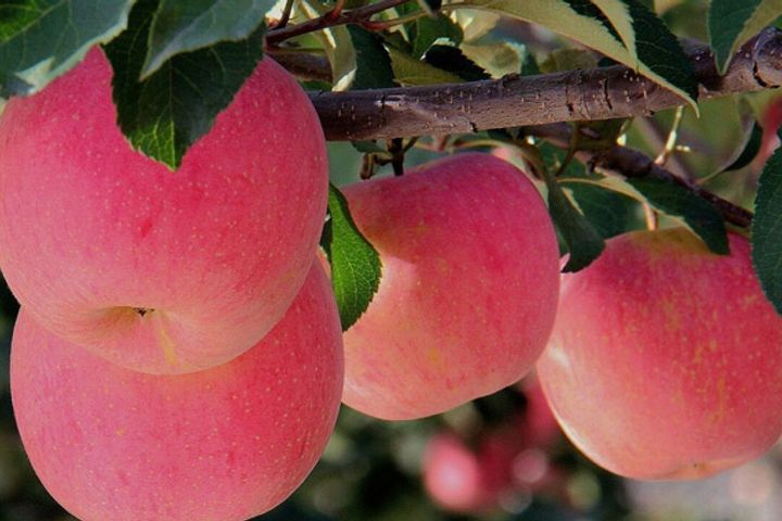 Zhengzhou Commodity Exchange Will List Red Fuji Apple Futures Contracts